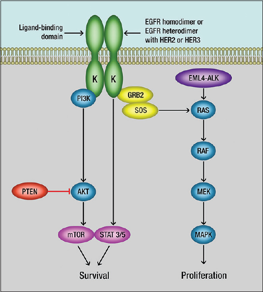 Figure 2: Epidermal growth factor receptor Pathway and its two pathways: Ras/Raf/Mitogen-activated protein kinases or PI3K/AKT